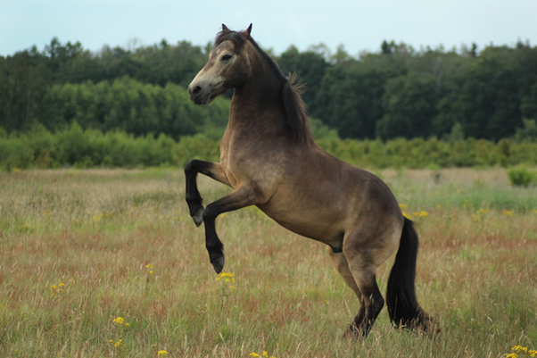 Iris icelandic welsh vrijheidsdressuur steigeren paard